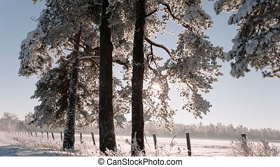 Big trees in the winter the camera moves and removes with a bottom up.