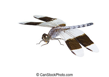 big tropical dragonfly, isolated
