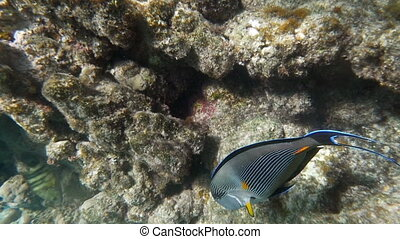 Slow motion underwater shot of a big surgeon fish swimming by the coral reef in Red Sea.