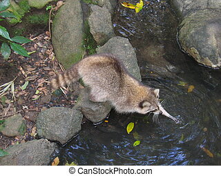 Big tropical raccon walking on a river in the jungle - Guadeloupe island - Caraibes.