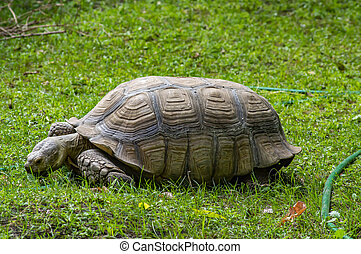 Big turtle on the green grass.