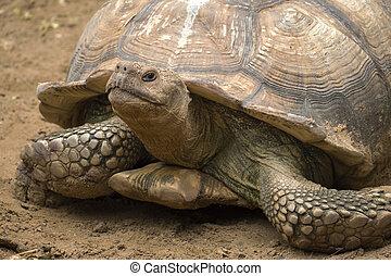 big turtle portrait