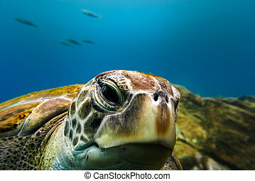 Big turtle portrait in blue ocean water with small fishes in background.