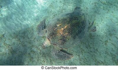 Big turtle searching food on sea floor