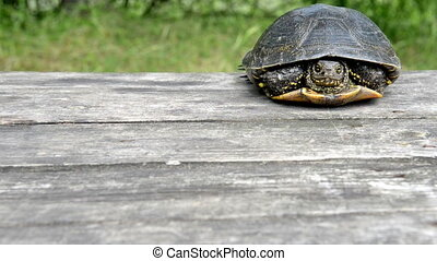 Big turtle slow crawls on old wooden desk with sunny grass...