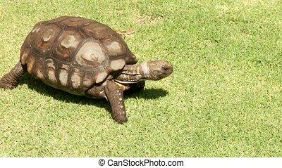 Big Turtle