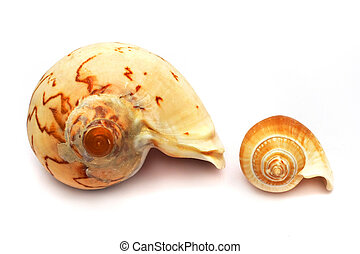 Big versus Small Whelk Spiral Shell