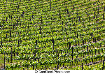 Big vineyard on a hill slope in Tuscany