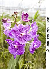 Big violet flower orchids. Beautiful blossoms close-up....