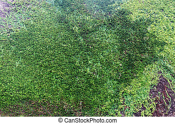 Big wall of castle covered with Ivy