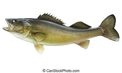 Big walleye isolated on a white background - A 10 pound...