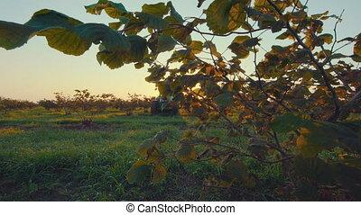 big walnut plantation - timelapse at the sunrise