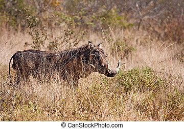 Big warthog standing in grass