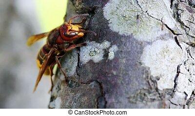 Big wasp macro . - Big wasp on the tree in garden.