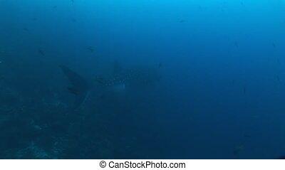 Big Whale Shark biggest fish in the world Underwater Video -...