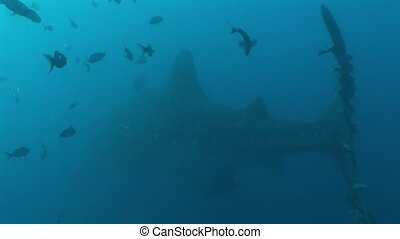 Big Whale Shark biggest fish in the world Underwater Video