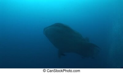 Big Whale Shark biggest fish in the world Underwater Video