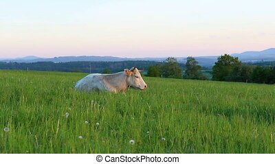 Big white cow resting and claw on meadow pasture. Czech ...
