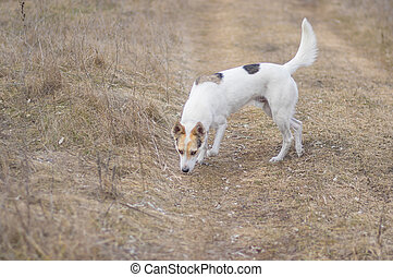 dog found trace of wild rodent while hunting in fields at fall season