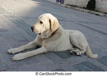 big white dog lying on sidewalk
