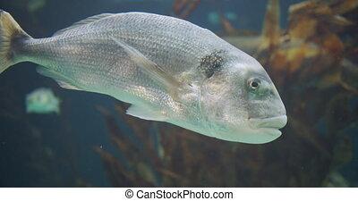 Big white fish in an aquarium.