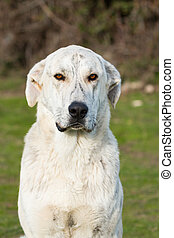 Big white labrador dog in the field