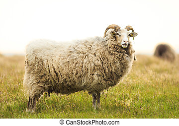 Big white male sheep standing in grass
