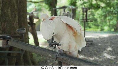 Big white parrot Cockatoo cleans the beak - Big white parrot...