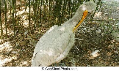 White Pelican Pelecanus onocrotalus - Big White Pelican...