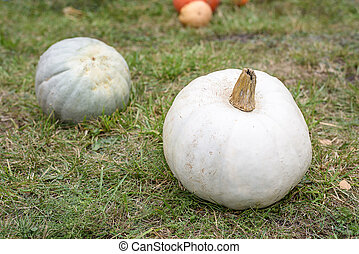 Big white pumpkin on green grass