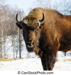 Big wild bisons in the winter forest