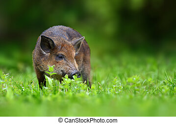 Big wild boar Images and Stock Photos. 911 Big wild boar ... Giant Wild Boar Photos