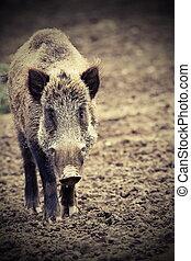 big wild boar looking at camera