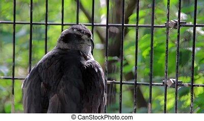 Big Wild Falcon in Cage