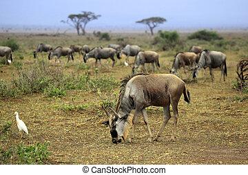 big, wildebeest, stěhování, do, afričan, safari