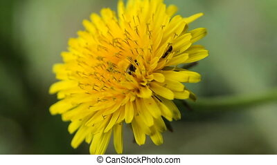 Big Yellow Flower - Chamomile flowers close up. Nature of...