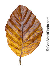 Big yellow leaf of a tree on a white background