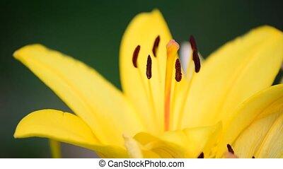 Big Yellow lily close-up