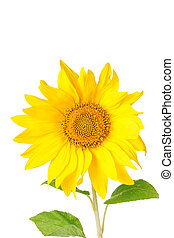 Big yellow sunflowers isolated on white background