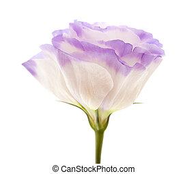 bigarré, eustoma, fleur, isolé, blanc