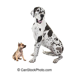 Bigest great dane and smallest chihuahua dog sitting isolated on a white background