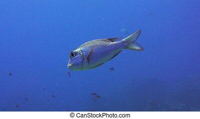 Bigeye emperor fish in the red sea - Shoal of Bigeye emperor...
