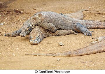 Biggest Lizard Komodo Dragon in the Wild