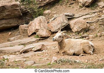 Bighorn calf
