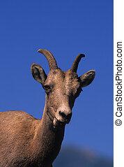 Bighorn Ewe Portrait