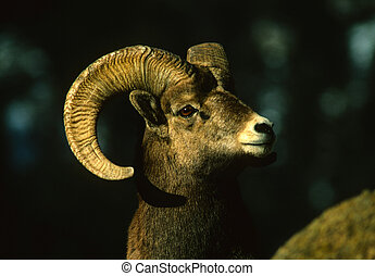 Bighorn Ram Portrait - a close up portrait of a bighorn...