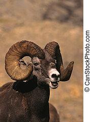 Bighorn Ram Portrait