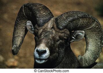 portrait of a large bighorn sheep ram