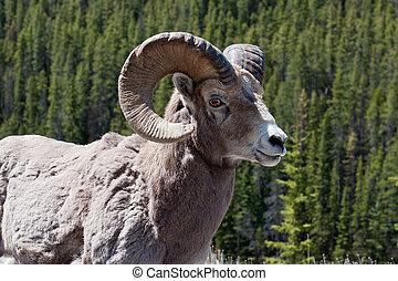 Bighorn Ram - Rocky mountain bighorn ram posing against a...