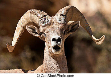 Bighorn Ram Sheep Red Rock Canyon Nevada